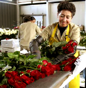 FRESH CUT ROSES direct from the farm, we will cut your roses after your Purchase