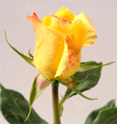 AALSMEER YELLOW ROSES Yellow roses, premium long stem yellow roses to support your florist shop in USA and Canada, Aalsmeer Gold yellow roses, Golda yellow roses, Marie Claire yellow roses direct from our farms in Colombia and Ecuador, vase life 10 to 12 days... Rose Connection offers the best and most fresh yellow roses in USA, wholesale yellow roses, wholesale prices and Fedex free delivery included...